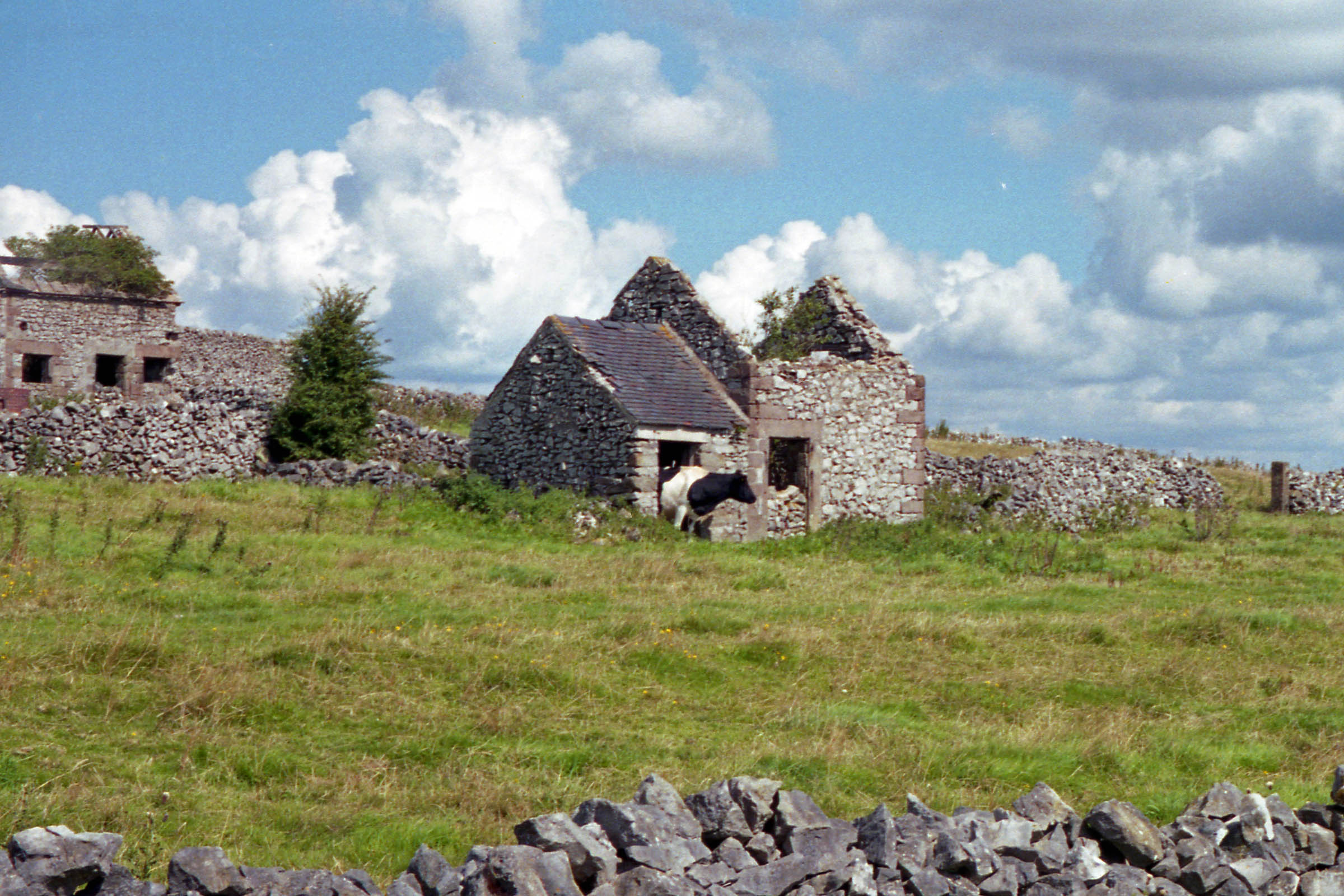 Cow in abandoned stone cottage, Peak District, UK, 2000.